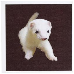 3dRose Baby Albino Ferret - Greeting Cards, 6 x 6 inches, se